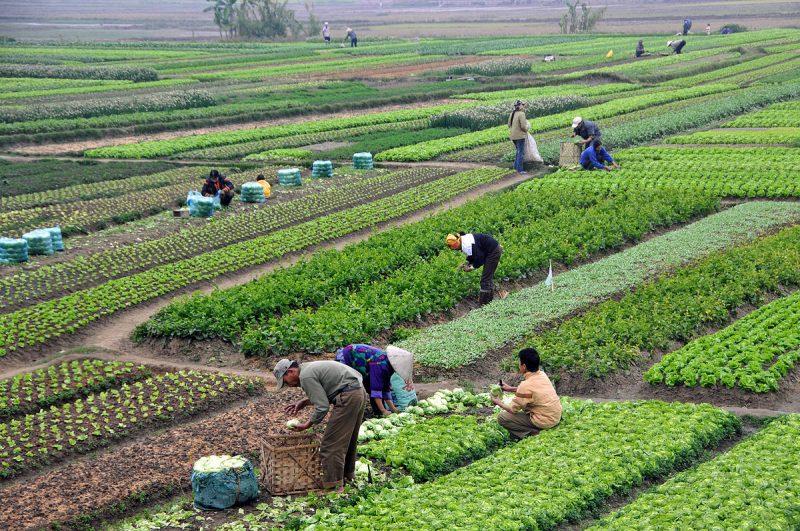 Than tre được kết hợp trong nông nghiệp khử chua