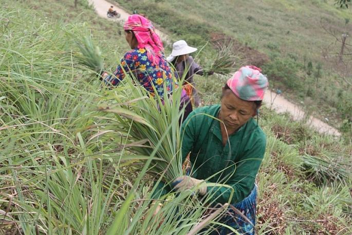 Bà con đồng bào dân tộc Sơn la thu hoạch sả Java